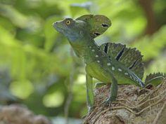 double-crested-basilisk-basilisk-lizard-tortuguero-national-park-costa-rica