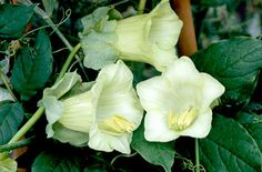 Cobaea scandens ALBA White Cathedral Bell Cup and Saucer Plant, Perennial, 10 Seed Packet or Bulk by SHAKERSEEDS on Etsy
