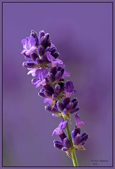 Lavender | Lavender growing in my garden. | Ronpem | Flickr