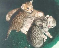 Singapura Cat, Ocicat, Russian Blue, Cat Breeds, Cats And Kittens, Pictures, Animals, Pretty Horses, Pretty Animals