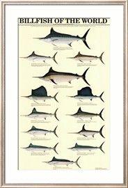 Billfish of the World