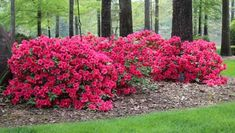 AUTUMN EMBERS Encore Azalea: Orange-red inch semi-double blooms are brightest variety of Encore Azaleas. Encores are EVERGREEN and bloom Spring, Summer and Fall! Front Garden Landscape, Garden Shrubs, Lawn And Garden, Shade Garden, Garden Plants, House Plants, Azalea Shrub, Azalea Bush, Evergreen Shrubs