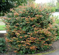 Alternative to Osmanthus: Evergreen Huckleberry (Vaccinium ovatum) is a native evergreen with beautiful foliage and edible fruit. New growth is bronze and the berries are blue to black. Upright, arching habit with small, pink flowers. Can be hedged. Grows up to 6' H.