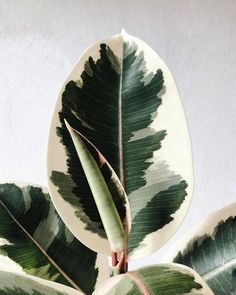 Hello, new Ficus leaf on ☁️ Still waiting for the 2 new Monstera leaves to unfurl 🖤 the plants have already noticed that Autumn is just around the corner ☁️.