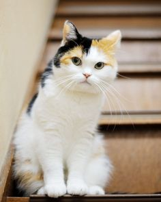 Pretty Cats, Beautiful Cats, Animals Beautiful, Cute Funny Animals, Cute Baby Animals, Kittens Cutest, Cats And Kittens, Japanese Cat, Curious Cat
