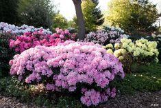 Rhododendron Garden   Greenduck