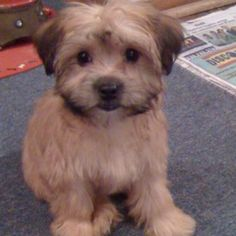 Roosevelt - My #morkie #dogs #cute