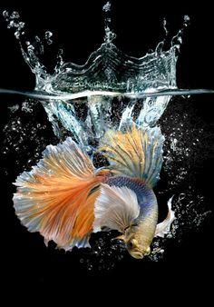 Action betta with splash water | Premium Photo #Freepik #photo #background #water #crown #nature Pretty Fish, Beautiful Fish, Betta Aquarium, Zentangle Drawings, Water Art, Colorful Fish, Watercolor Artists, Fish Art, Nature Animals