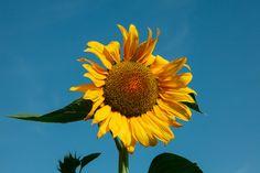sunflower | morocco