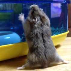 Hampster stretches before intense triathlon training