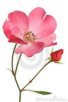63 New Ideas Tattoo Flower Acuarela Watercolor Rose Rose Tattoos, Flower Tattoos, Watercolor Rose, Watercolor Paintings, Wildrose Tattoo, Rose Images, Plant Drawing, Colorful Drawings, Flower Drawings