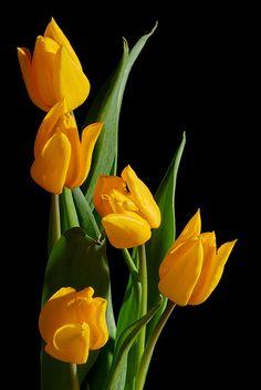 Yellow Tulips                                                                                                                                                      More