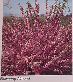 The flowering almond bush is fowering at Brooke and Matt's!