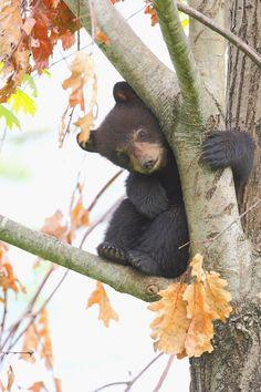 cute baby bear autumn