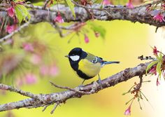 Collis Holiday - Quality Cool titmouse image - 2048x1450 px