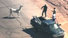 Llamas run wild, avoid capture in Arizona http://www.ctvnews.ca/video?clipId=559483&playlistId=1.2255249&binId=1.810401&playlistPageNum=1&binPageNum=2