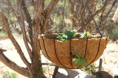 A hanging basket offers an alternative that takes advantage of vertical space when you lack yard space for a strawberry (Fragaria x ananassa) patch. Compact day-neutral and. Strawberry Hanging Basket, Strawberry Planters, Hanging Baskets, Hanging Planters, Hanging Gardens, Deck Planters, Diy Hanging, Organic Gardening, Gardening Tips
