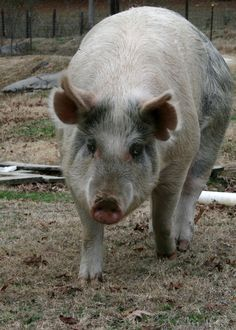 Homesteads guide in raising pigs, pros and cons… Farm Animals, Animals And Pets, Chicken And Cow, Pig Pen, Pig Farming, This Little Piggy, Down On The Farm, Hobby Farms, Farm Yard