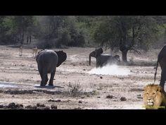 Baby Elephant vs Impala African Safari, Baby Elephant, Impala, The Dreamers, Traveling By Yourself, Wildlife, Horses, Photos, Animals