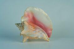 seashell by Rough-rider, via Flickr
