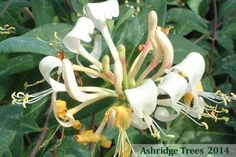 Lonicera 'Belgica', early Dutch honeysuckle, is a wonderful climber having heavily scented yellow flowers with red and apricot, very strong twining bushy growth and fresh dark green foliage.