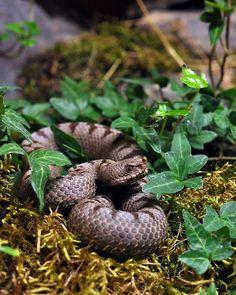 Vipera Transcaucasiana - Transcaucasian viper | by markusOulehla  aka Armenian Sand Viper