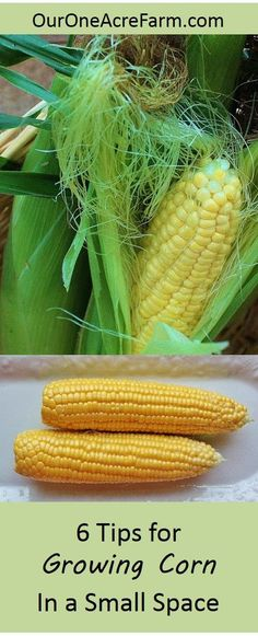 Yes, you CAN grow full, plump ears of corn in a small garden! Start with an appropriate variety, prepare the site properly, understand corn pollination, plant in blocks, learn to hand pollinate (it\'s super easy!), and protect from wildlife. Learn the details here, and you\'ll be picking beautiful ears of corn from your own backyard.: