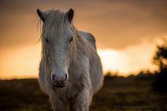 New Forest Pony White Pony #2