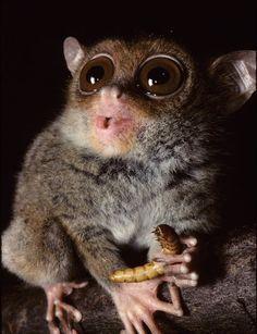 """""""Whoooaa...""""  Phillipine tarsier"""