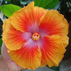 Carnaval Hibiscus
