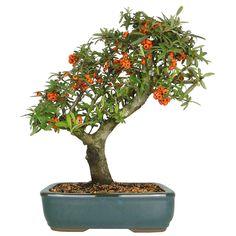 Bonsai laranja - 16 anos