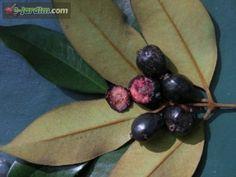 Eugenia macrosperma (=E. velutina) / cambucá-preto