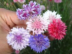 Barber Shop Queen Creek Az : Mixed Bachelors Button. Amazing, extra-select flowers come in yummy ...