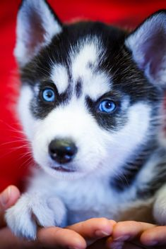 Siberian husky puppy with blue eyes Siberian husky puppy with blue eyes Source. The post Siberian husky puppy with blue eyes appeared first on Bruce Kennels. Husky Puppies For Sale, Aussie Puppies, Siberian Husky Puppies, Lab Puppies, Husky Puppy, Cute Puppies, Siberian Huskies, Pomsky Puppies, Pomeranian