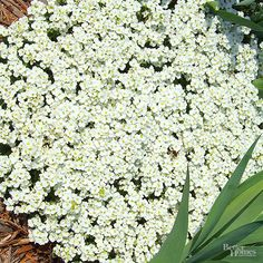 Best Plants for Rock Gardens: Rock cress, also called arabis, gets its name from the fact that it will thrive in the thin ribbon of soil wedged between boulders. This pretty creeper grows 4-6 inches tall and produces masses of cheerful pink or white flowers in the spring. It can tolerate heat and drought and is deer-resistant. Botanic Name: Arabis sp. Zones: 4-8 Light: Full sun/ Partial sun