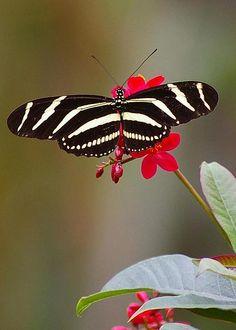 Zebra Longwing Swallowtail by Carol Jenks