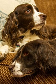 """Click visit site and Check out Cool """"English Springer Spaniel"""" T-shirts. This website is outstanding. Tip: You can search """"your name"""" or """"your favorite shirts"""" at search bar on the top."""