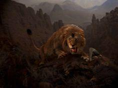 Барбарийский (североафриканский) лев в горах Атлас, Средние Века.