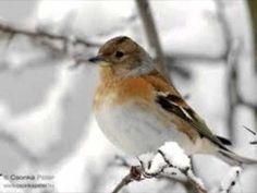ÉNEKES MADARAK I. Bird Feathers, Birds, Bird