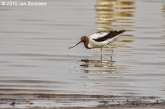 Red-necked Avocet, Lake Kelly, Kerang Pentax K-3, Sigma 300mm f/22, ISO 400, f/5.6 1/2000