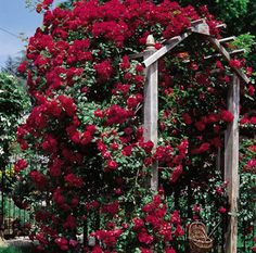 Don Juan Climbing Rose Bush - just a sexy rose with highly fragrant, red-velvet blooms!