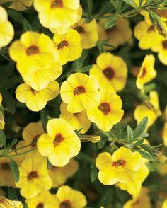 Superbells®+Saffron+-+Calibrachoa+hybrid Yellow Plants, Sun Plants, Free Plants, Yellow Flowers, Spring Flowers, House Plants, Full Sun Perennials, Flowers Perennials, Container Flowers
