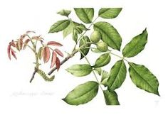 Gallery of Botanical Illustrations by Christine Battle Botanical Art, Botanical Illustration, Plant Leaves, Battle, Watercolor Lesson, American, Gallery, Plants, Painting