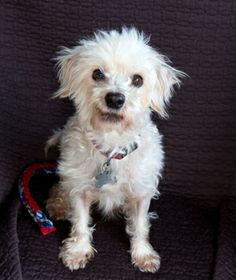 Paddington the poodle mix is a smart 5 y/o little guy who already knows several tricks! Meet him at the OHS Westside Adoption Center.