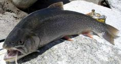 Arctic Char Pictures