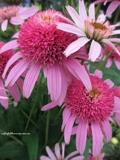 "Echinacea ""Double Pink"", perennial    these are beautiful too & i would love them in conjunction with the papyrus.... i think they would attract a lot of bees though & i don't want bees around the pool.  maybe in the front yard below the veggie garden.  i wonder how tall they get."