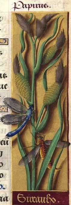 Sireaulx - Papirus (Carex riparia Curt. = laiche des rives) -- Grandes Heures d'Anne de Bretagne, BNF, Ms Latin 9474, 1503-1508, f°109r