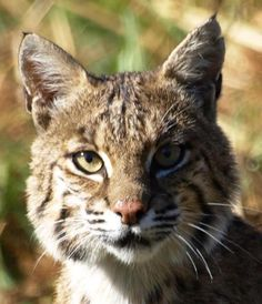 Texas Parks and Wildlife shared Gary Stubbs's photo.  A curious bobcat near Texas Parks and Wildlife - Martin Creek Lake State Park in east Texas