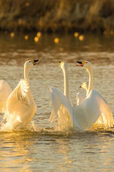 Whooper Swans. Water fowl were revered in Bronze Age Germany