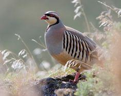 Chuckar people-chuckar, not a ring neck pheasant!